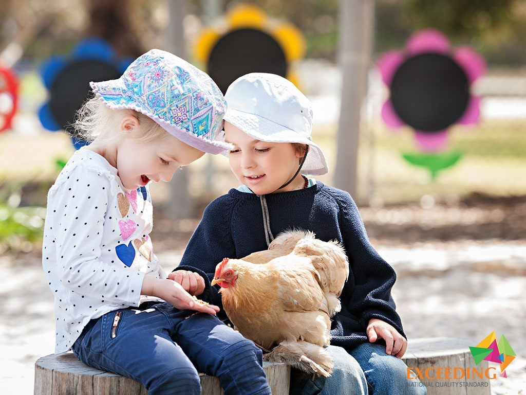 play with chickens in the meerilinga cockburn early learning program
